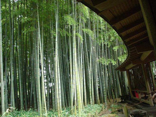Bamboo Garden at Hokokuji Temple in Kamakura, Japan