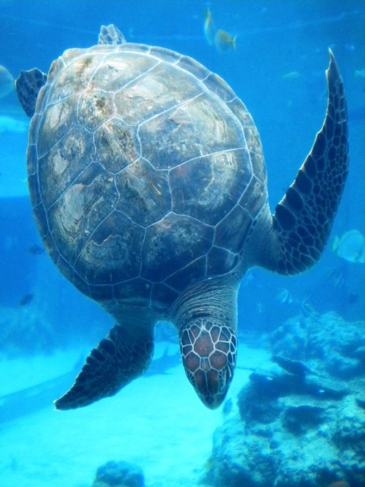 Adult green turtles feed mostly on seagrasses and algae although immature animals are carnivorous