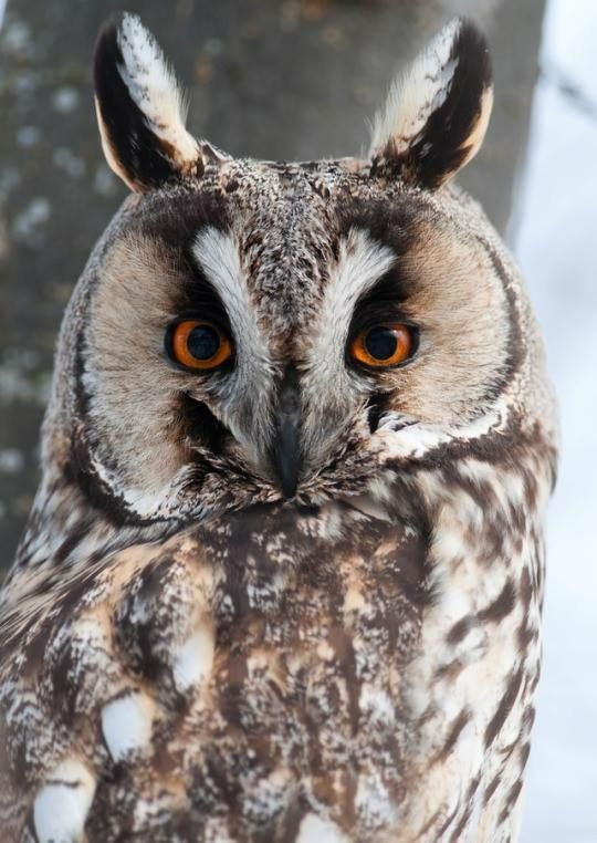 Long Eared Owl by Anders L.