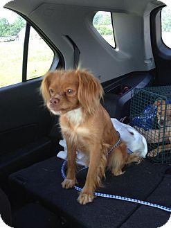 ROCKMART, GA - Cavalier King Charles Spaniel/Chihuahua Mix. Meet JEWELI, a dog for adoption. http://www.adoptapet.com/pet/13299931-rockmart-georgia-cavalier-king-charles-spaniel-mix