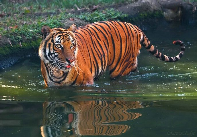 Indochinese Tiger | Noah's Ark | Pinterest | Tigers ...