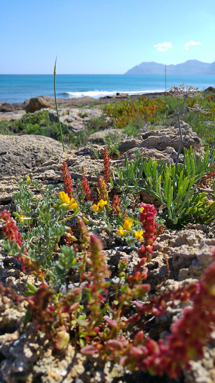 Die Pflanzen am Strand von Son Serra de Marina auf Mallorca.