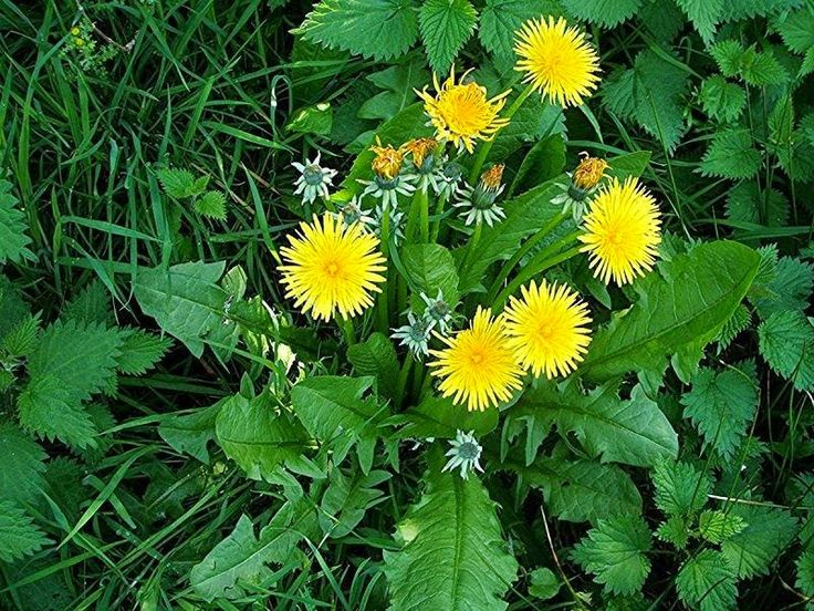 Uses for dandelions