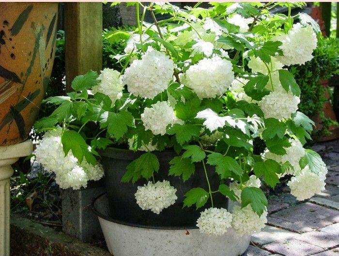 Hortensia Hydrangea arborescens Annabellen