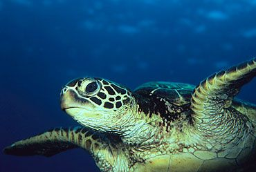 Did you know green sea turtles can hold their breath for hours at a time? Learn more green sea turtle facts at Animal Fact Guide!