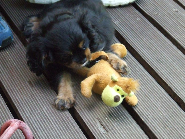 Our black and tan Cavalier King Charles puppy Phryne playing