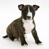 Miniature English Bull Terrier pup, 6weeksold