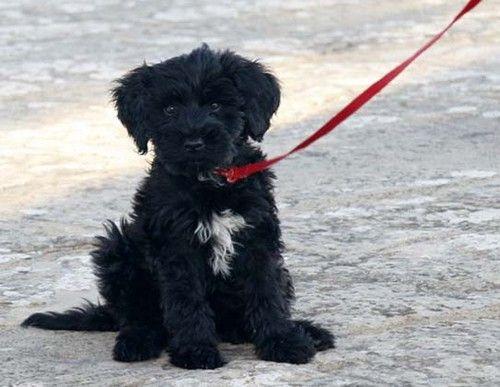 Portuguese Water Dog...I want one :(