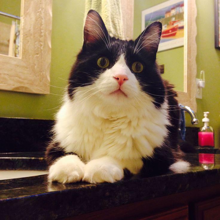 Mancoon cat