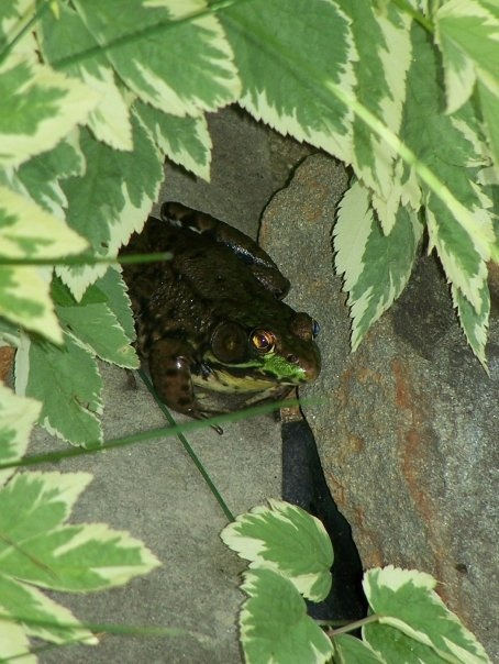 Frog in the backyard pond - Fredericton, New Brunswick