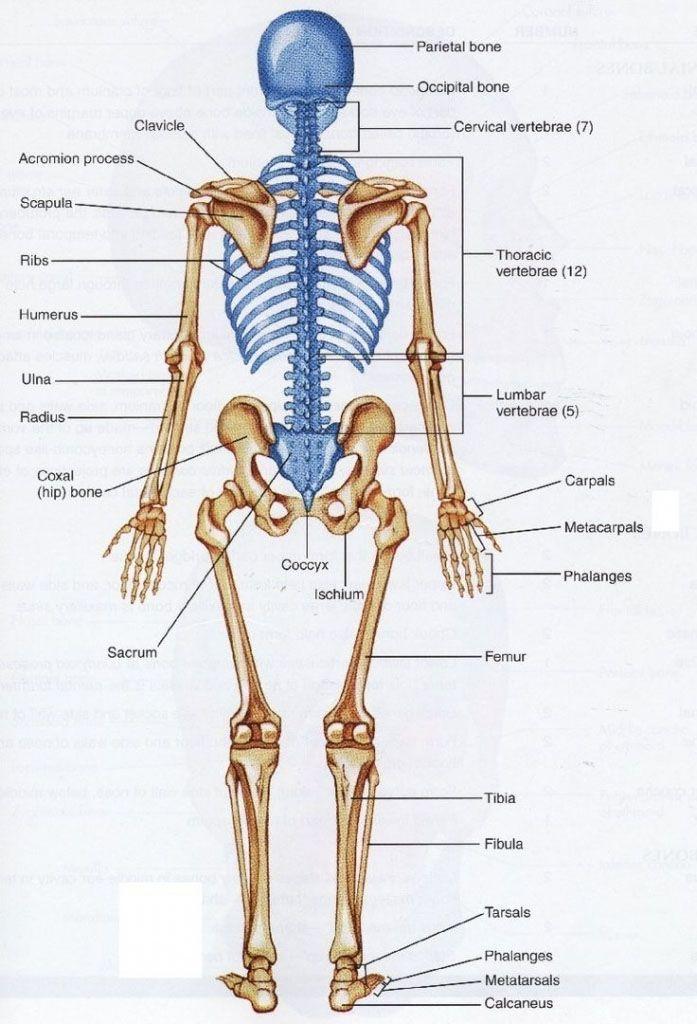 Axial Skeleton And Extremities Skeleton Anatomy Anatomynote
