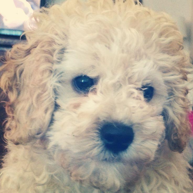 Billy   cutest puppy ever