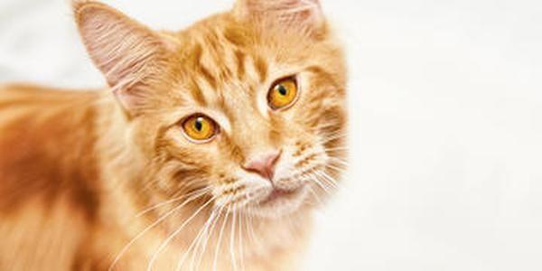 Cuántos Años Vive Un Gato Descubre Cuanto Viven Los Mininos Gatos Animales Majestuosos Gato Domestico