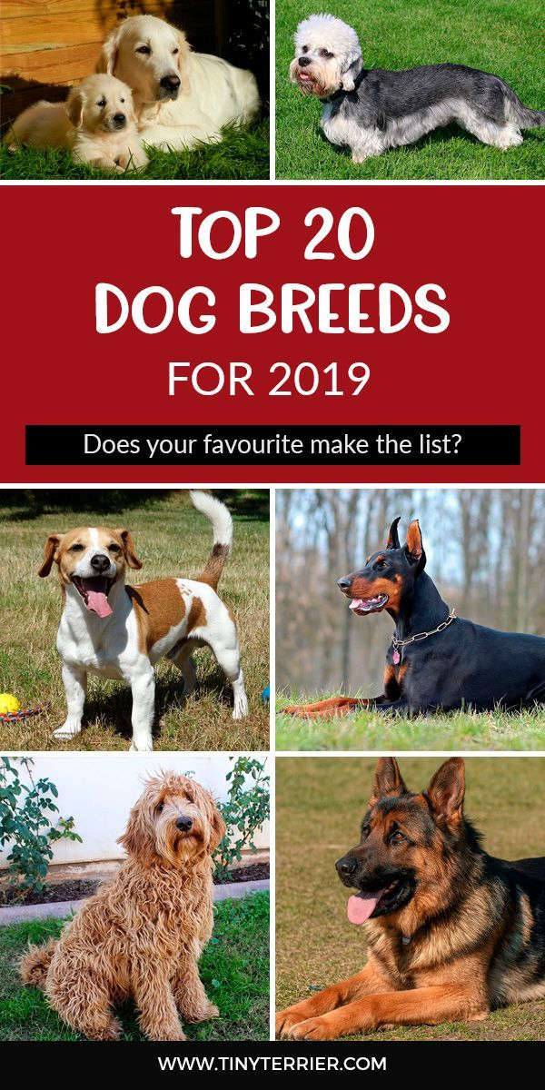 The Top 20 Most Popular Dog Breeds For 2020 Tiny Terrier
