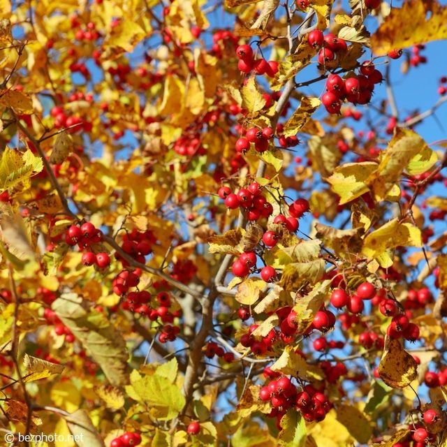 bezphoto: Hawthorn: photo of tree in the fall / Боярышник: фото дерева осенью