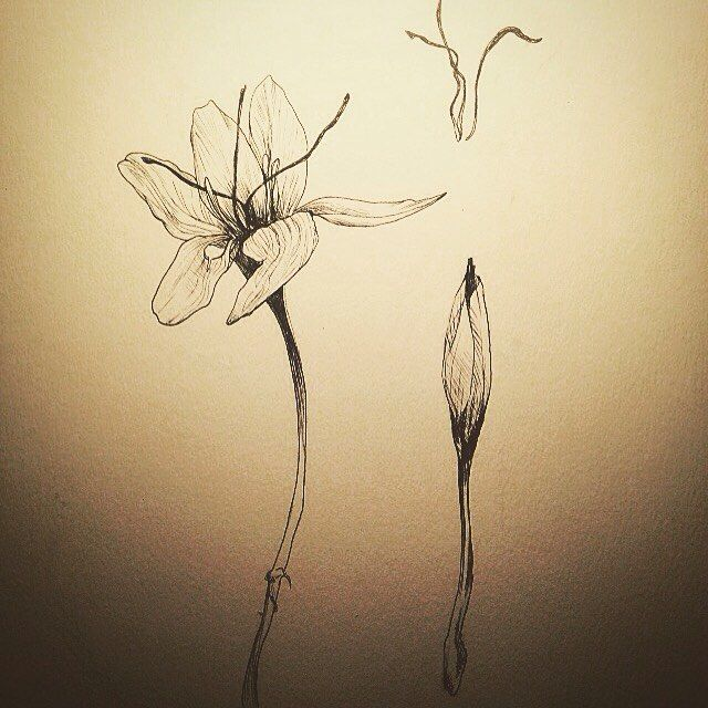 The challenge (from deadlybreakfast) : for august, 1 Day = 1 Word = 1 creation. Today it was : safran (saffron) - #DCAout  #Dailydoodle #doodle #drawing #draw  #sketch #sketching  #instagood #instaart #art #artist #artwork #sketchbook #pen #flowers #illustration #illustragram #saffron #herbarium #plant #botanical #flower #dessin #garden #ink #inking #lines #lineart #inked #herbal