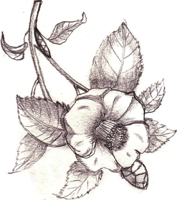 Pencil on Paper. Camelia