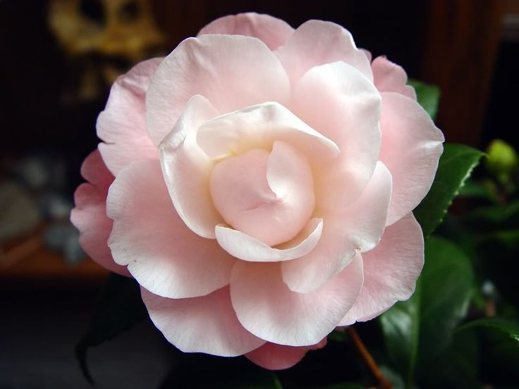 These flowers are my current favorite flower (camelia) they become a beautiful bush/tree.