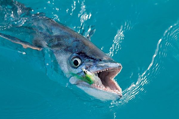 Fly Fishing for King Mackerel in the Florida Keys