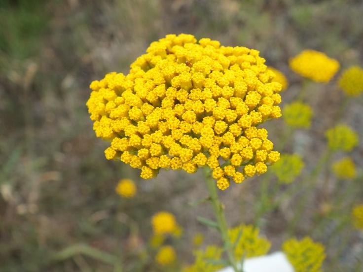 Small wayside flower