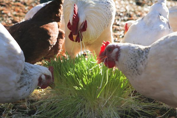 Home Fodder System for Goats, Chickens, Rabbits and Other Livestock - Affordable, Cheap & Easy   Peak Prosperity