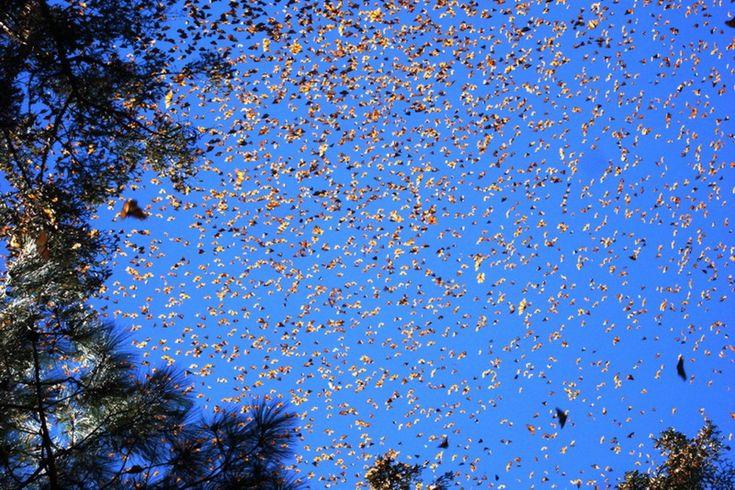 Обычно бабочки-монархи красивые, чёрно-оранжевые создания, но когда они начинают мигрировать, в небе начинают твориться чудеса. Когда температура в октябре начинает опускаться, монархи отправляются в своё путешествие в Мексику. Им предстоит преодолеть около 4000 километров. Бабочки могут покрывать деревья целым слоем во время своего путешествия.