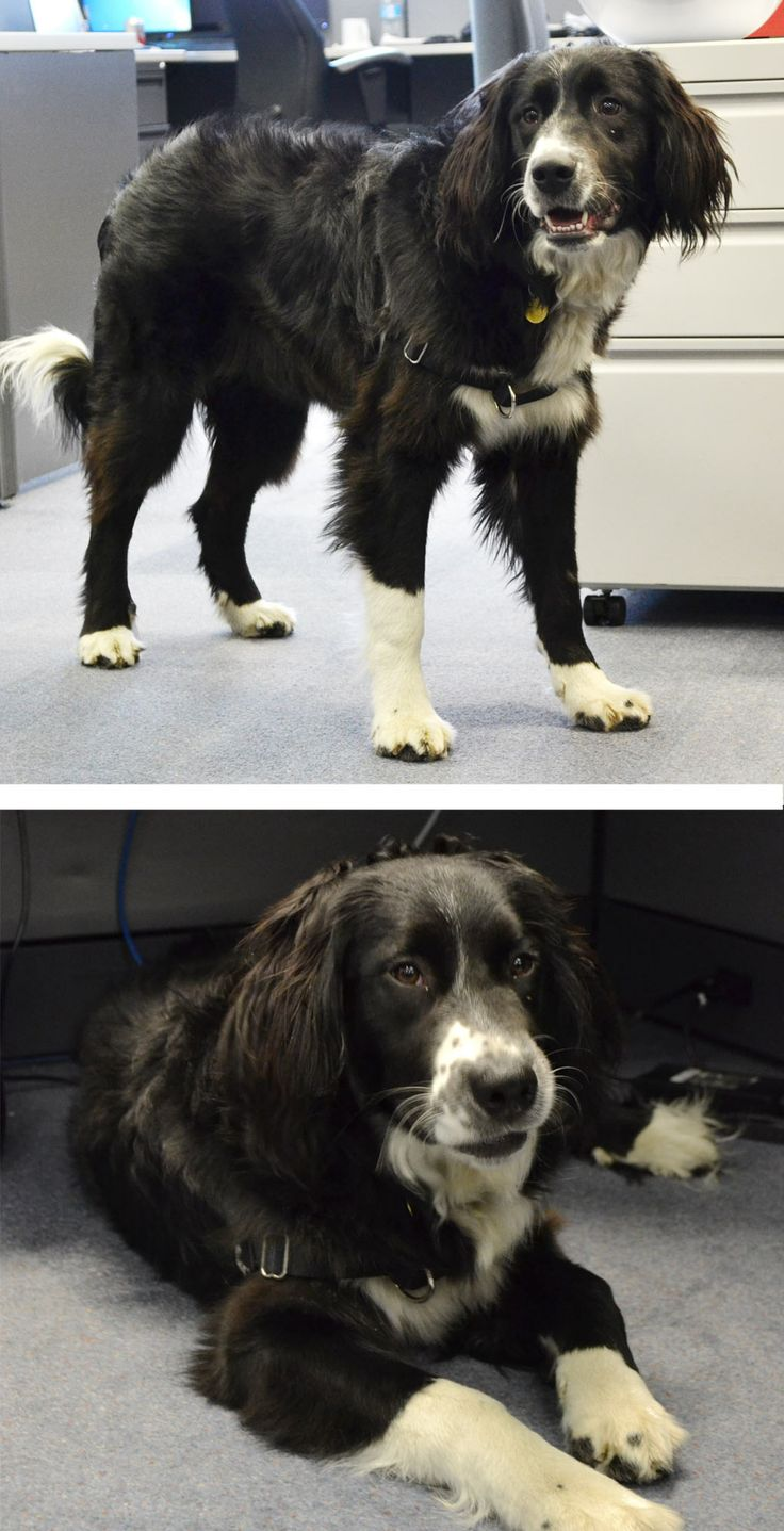 Meet our newest HR Consultant - Bella. She is a 10 months old Bernese Mountain Dog - Cocker Spaniel - Springer Spaniel mix. Bella is very happy to be in the office today mostly because she gets a lot of belly rubs. Find out more about Intelex Family here: http://www.intelex.com/team.aspx?source=h%2b1cla%2byaKH2gBG7oq333j7XO5mbbrBX5NeAMS9qStMTTPDl1tFYo0JvEBm%2bSZ0SH8tpaJZH%2fKjNFLQ4bA0UUA%3d%3d