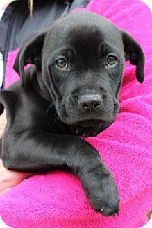 Prattville, AL - Boxer/Pit Bull Terrier Mix. Meet Shelia 26232, a puppy for adoption. http://www.adoptapet.com/pet/17523490-prattville-alabama-boxer-mix