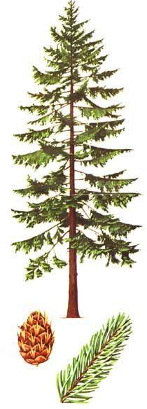 douglas fir tree drawing - Google Search