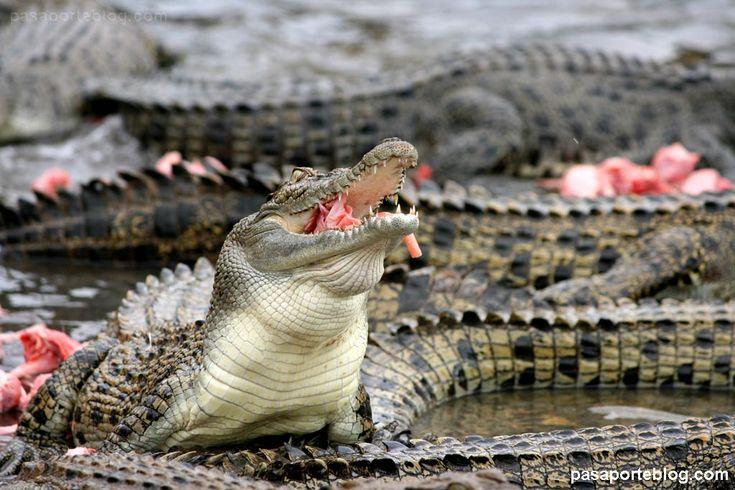 Cocodrilo de agua salada #crocodile #cocodrilos #australia