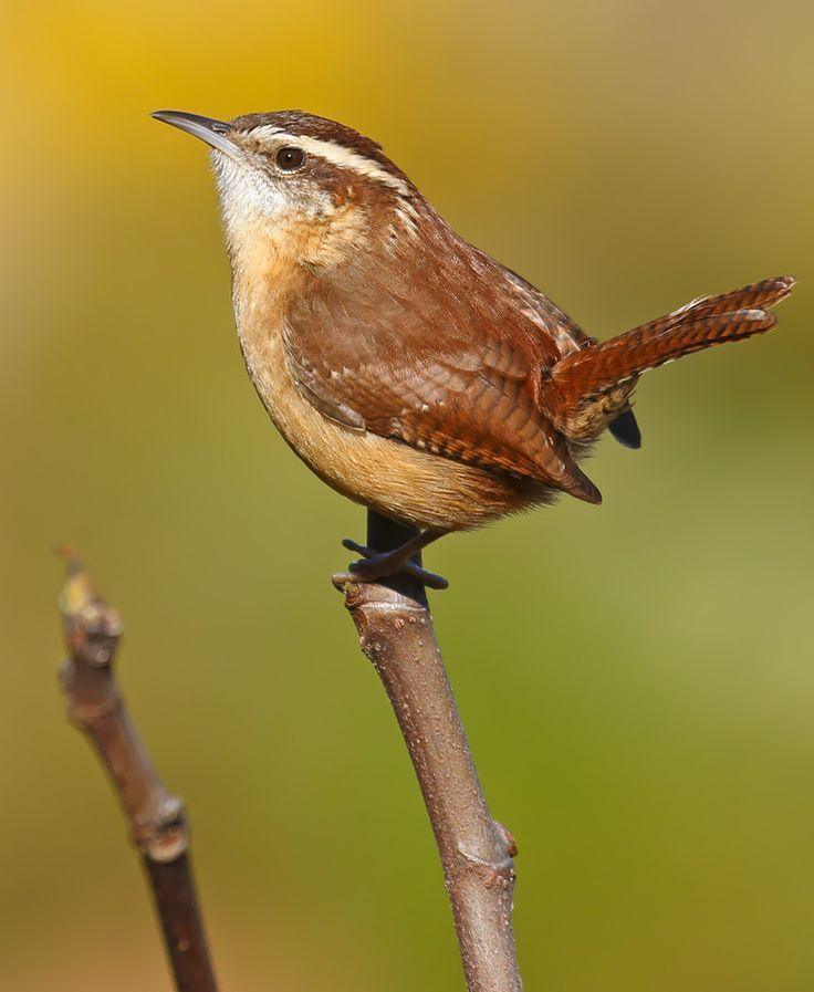 Carolina Wren..fussy perky little birds