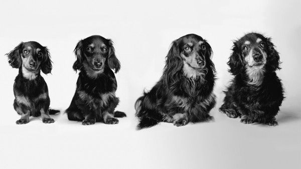 Lily, a long-haired dachshund, at 8 months, 2 years, 7 years, and 15 years.