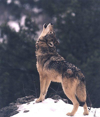 Wolf form : Photo