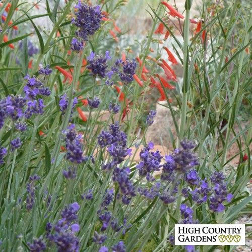 This new selection of Lavender has some of the darkest colored flowers you'll ever see. Lavandula angustifolia 'Munstead Violet' (Munstead Violet English Lavender) has dark blue calyxes and outstanding violet-blue corollas over nice silver-gray foliage. Exclusive.