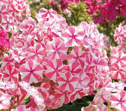 17 best images about phlox and sweet william flowers on. Black Bedroom Furniture Sets. Home Design Ideas