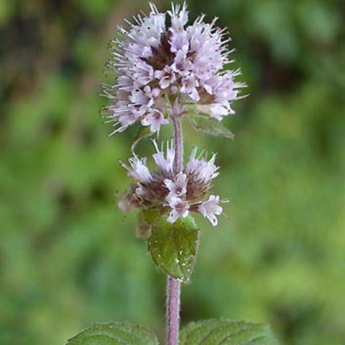 Mentha aquatica menthe aquatique plante aromatique for Plante 8 feuilles