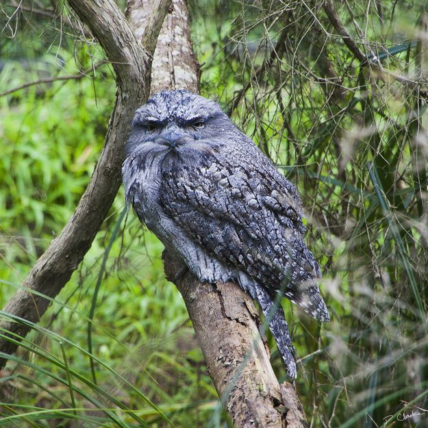 Introducing The Frogmouth: Not to be confused with owls, the frogmouth is a nocturnal bird native to Southeast Asia and Australia.
