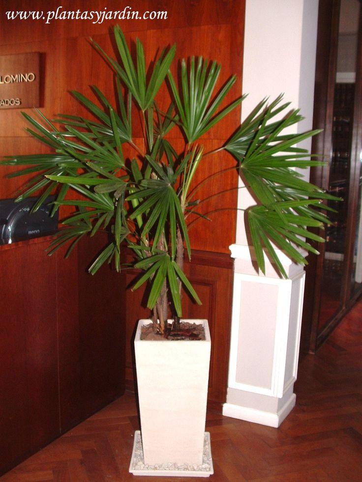 Plantas para cultivar en interiores la raphis palmera - Planta interior palmera ...