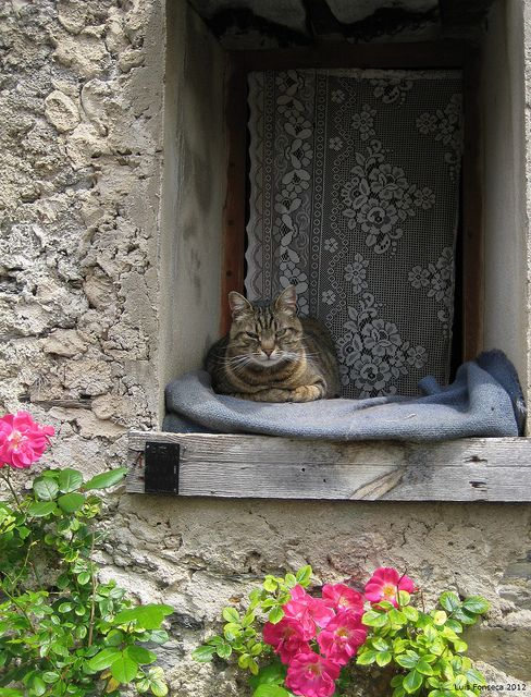 Cat in Saorge  Once in a lifetime photo of Brown tabby cat with petite milk mustache lying on dusky blue blanket on wooden windowsill in Front of lace curtains of rustic Stone cottage with pink pelargonium blooming below