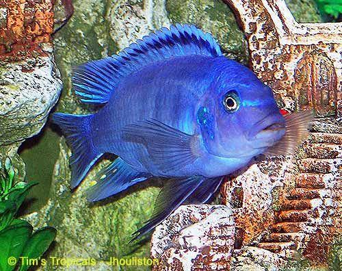 Cobalt Blue Cichlid  : Cobalt Blue Zebra Cichlid Under Water Art Pinterest Cichlids ...