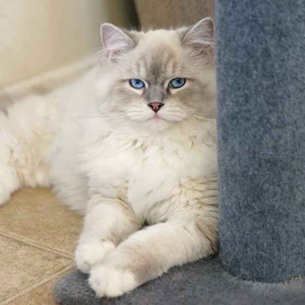 Memphis Ragdoll Of The Week Floppycats Ragdoll Ragdoll Cat Ragdoll Kitten