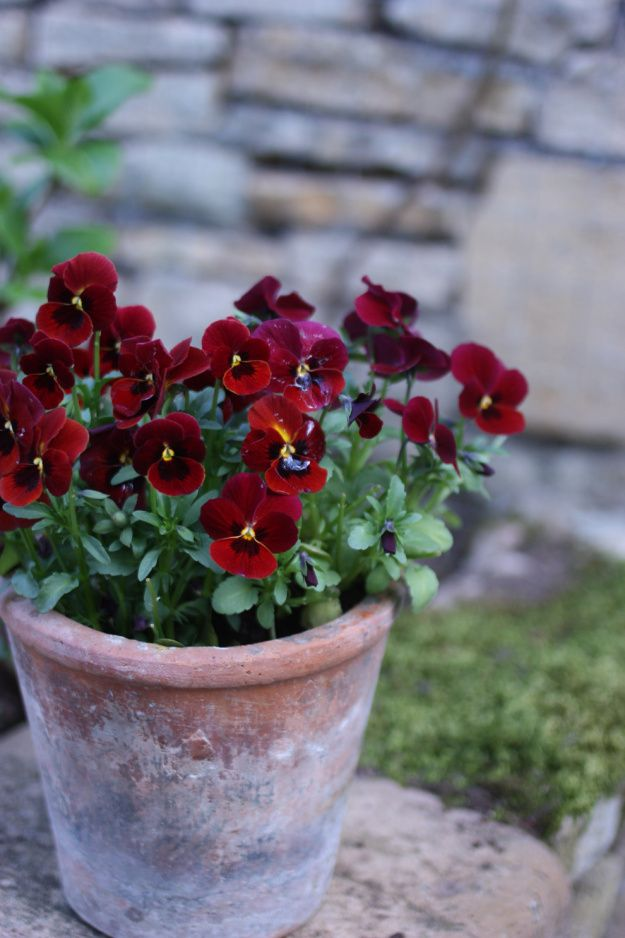 I love violas, their tiny faces clustering between pretty foliage, peeking up at spring and autumn sunlight.