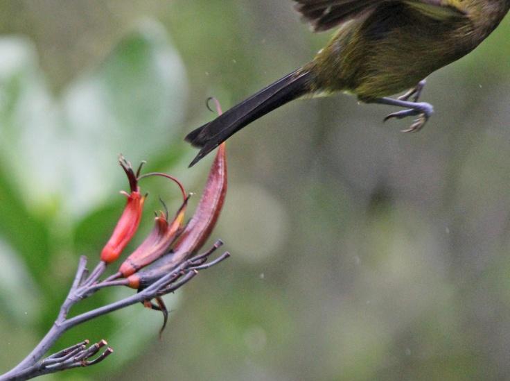 Bellbird (leaving)
