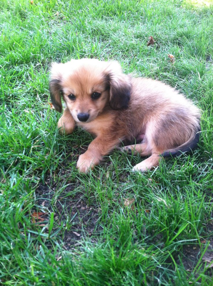 My New Baby Charlie Dachshund Pomeranian Mix Puppy