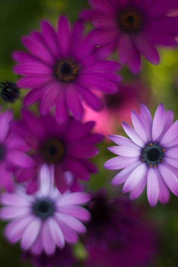 African Daisy (By Mike Reid)