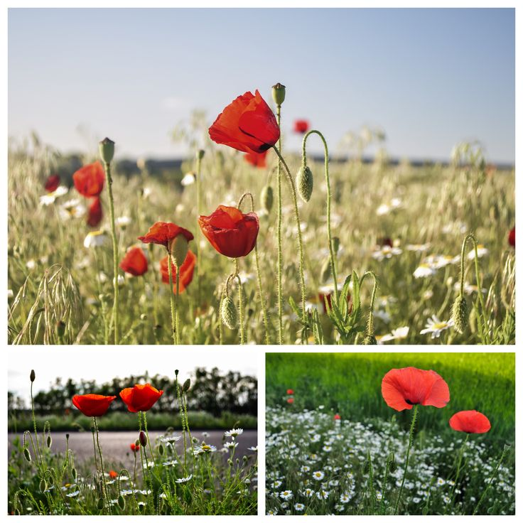 nature Photography | Poppies in the field | #poppies #photography