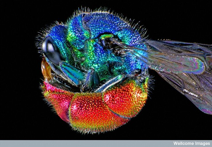 This photomicrograph shows the ruby-tailed wasp called Chrysis ignita, which is the most commonly observed of this species. The abdomen's is coloring -- ruby red and bronze – give the wasp its name. The underside of the abdomen is also concave, which allows the wasp to roll itself into a protective ball if threatened.