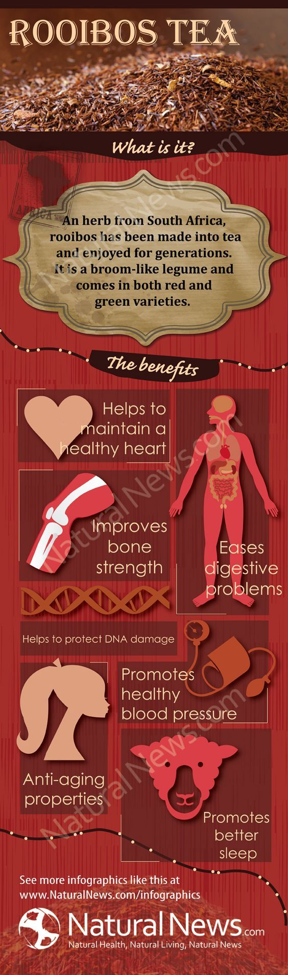 Benefits of Rooibos Tea by The Health Ranger// It is a bushy reed-like plant, actually. The tea is only red if the leaves were dried and fermented, otherwise it is green.