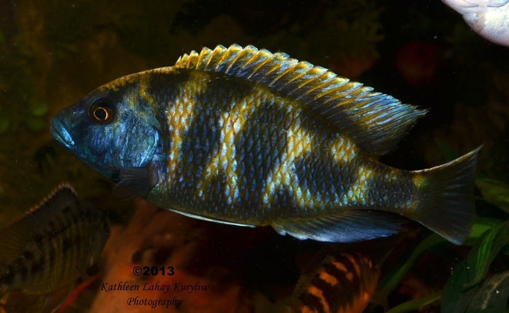 55 best african cichlid lake malawi aquarium fish tank for Lake malawi fish