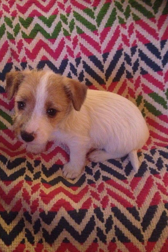 My Dolly, the Sporting Lucas Terrier - 8 weeks